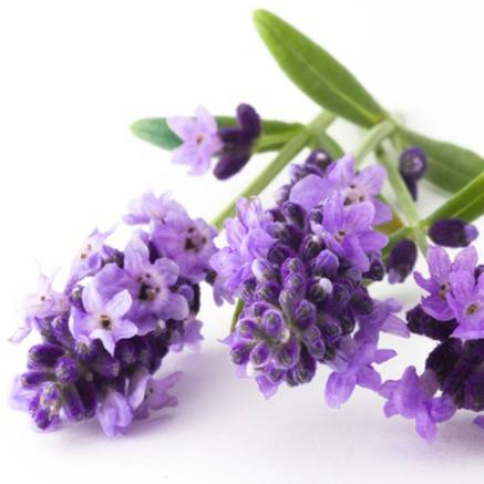 Lavender Flower Extract