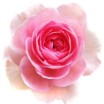 Rosa Damascan